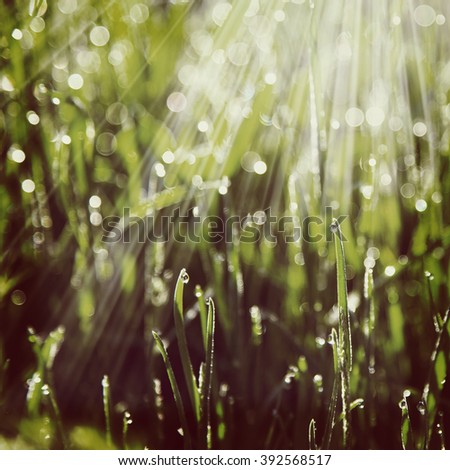 blurred background green grass  morning dew sun rays  #392568517