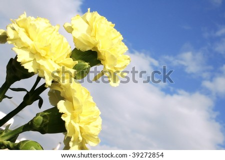 Yellow carnations on the sky background. #39272854