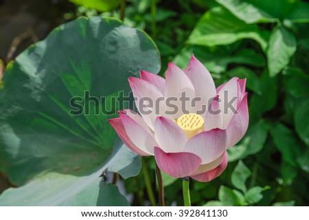 Close-up view blooming pink lotus flower (or Nelumbo nucifera Gaertn, Nelumbonaceae, sacred lotus) cultivated in water garden. Lotus is national flower of India and Vietnam. Nature flower background. #392841130