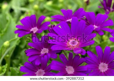 Florist's cineraria's purple flowers (Pericallis Ã? hybrida) #392887312
