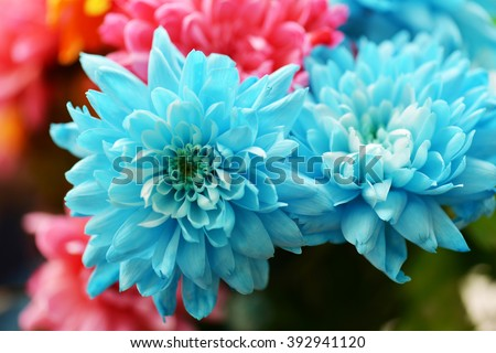 Flowers, flowers chrysanthemum
