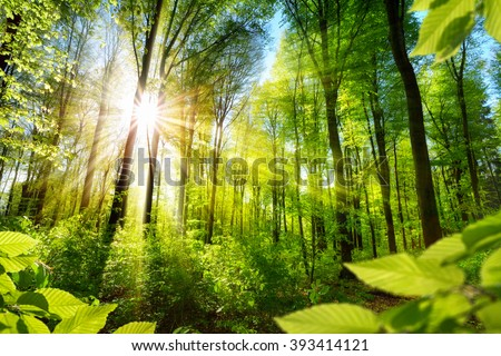 Scenic forest of fresh green deciduous trees framed by leaves, with the sun casting its warm rays through the foliage #393414121