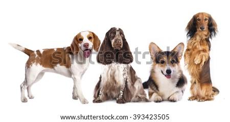 long haired miniature dachshund and standard dachshund and shepherd #393423505