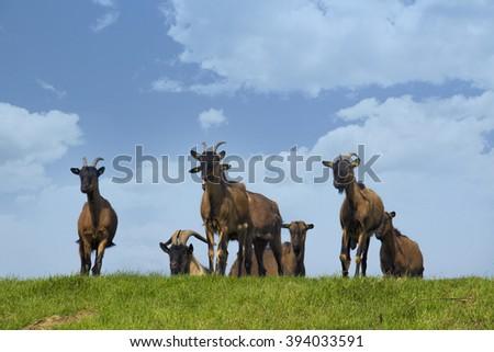 Goats on pasture  #394033591