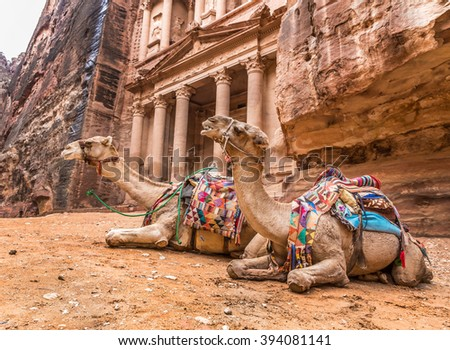 Two bedouin camels rests near the treasury Al Khazneh carved into the rock at Petra, Jordan. Petra is one the New Seven Wonders of the World #394081141