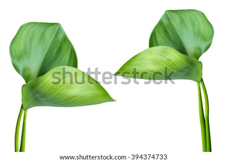 Water Hyacinth (Eichhornia crassipes). Plant with leaves isolated on white background. #394374733