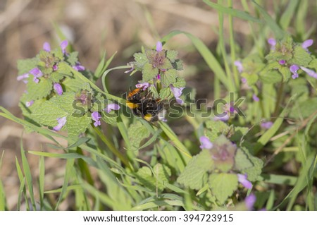 Striped Bumble bee sitting on a spring flower and collects nectar #394723915