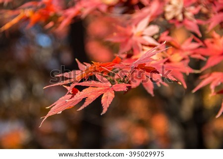 Bright red Japanese maple leaf in autumn. #395029975