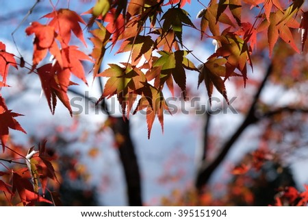 maple leaves and sun shine #395151904
