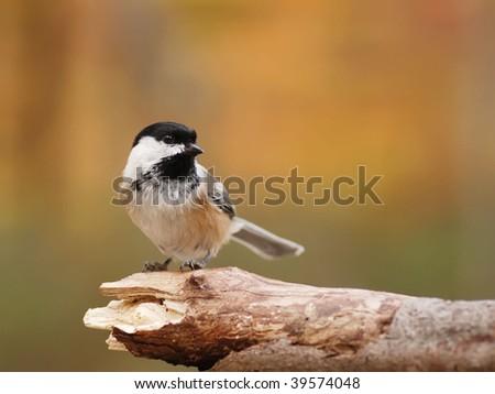 closeup of a black capped chickadee #39574048