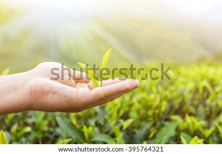 hand holding a piece of green tea leaf #395764321