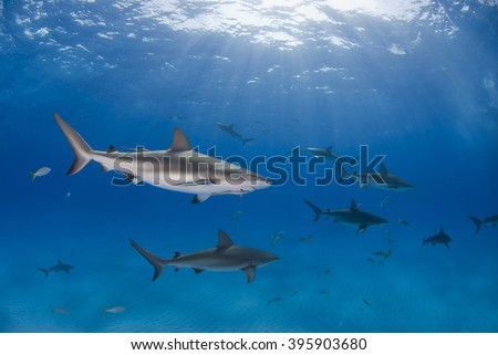 Caribbean reef shark in clear blue water with other sharks and the sun in the background.