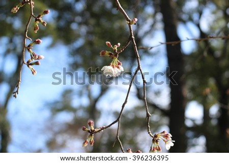 The flower of a cherry tree which blooms on the way #396236395