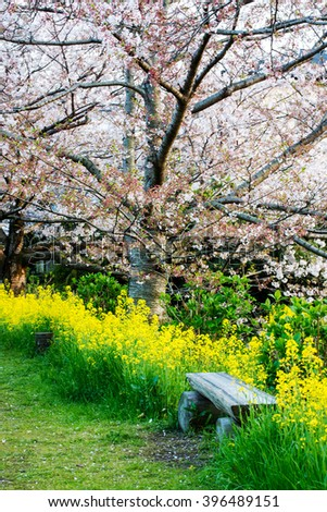 Scenic View of a Winding Path Lined by Beautiful Cherry Trees in Blossom in a Garden during Springtime #396489151