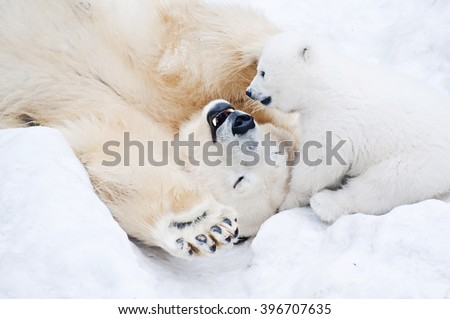 Female polar bear playing with her little cub on the snow Royalty-Free Stock Photo #396707635