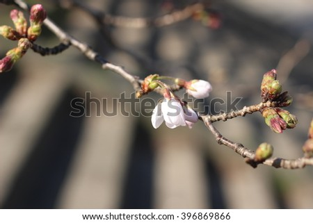 The flower of a cherry tree which blooms on the way #396869866