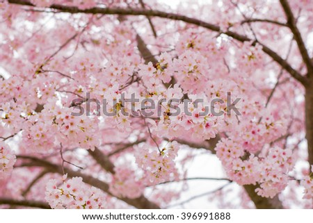 flowers on cherry blossom day #396991888