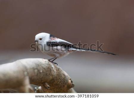 Long tailed tit (Aegithalos caudatus). A little sweet tailed Tit on a branch. #397181059