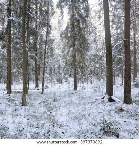 Winter wonderland in a snowy pine forest #397370692