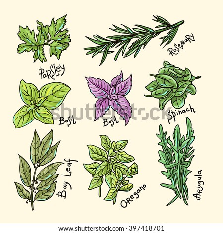 Set of beautiful hand drawn vector  illustration of culinary herbs #397418701