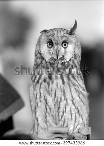 Eurasian Eagle-owl. Black and white close up portrait. Retro film style.