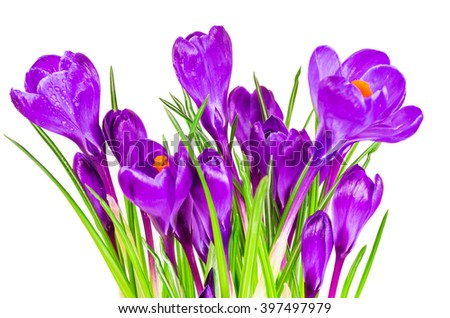Beautiful crocus flowers isolated on white background #397497979