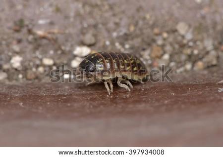 pill-bug (Armadillidium vulgare) #397934008