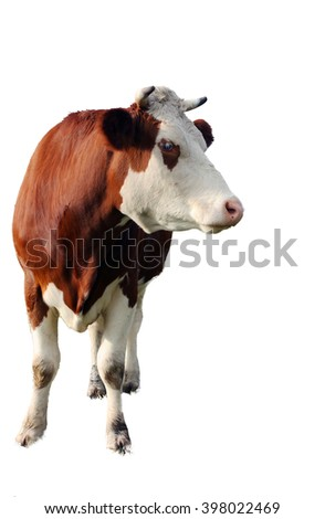 brown cow isolated on white background, closeup #398022469