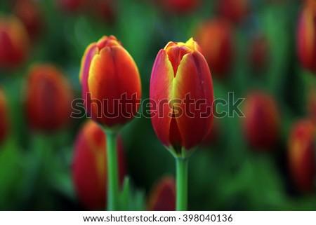 tulip flowers, closeup of photo