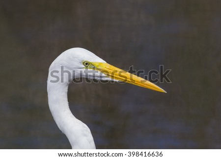 A close up headshote of a Great Egret at the Everglades National Park, Florida, USA #398416636