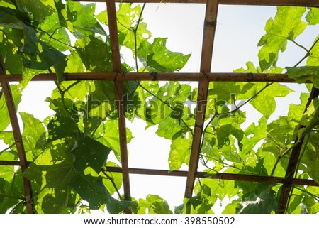 Bitter gourd ivy in farm cultivation #398550502