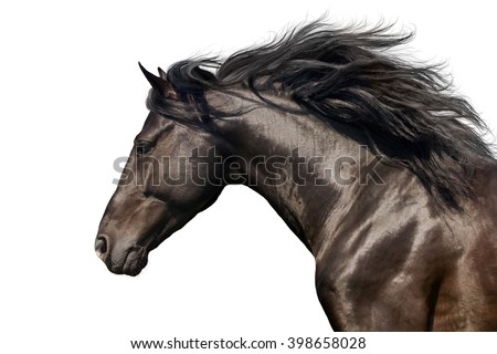 Black stallion with long mane in motion portrait isolated on white background #398658028
