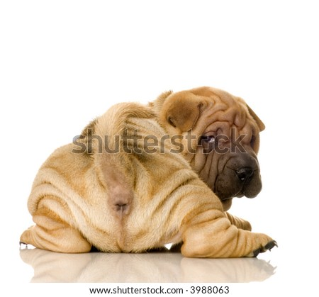 Sharpei in front of a white background #3988063