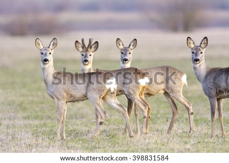troop of roe deer