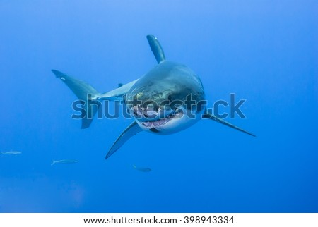 Great white shark showing its teeth rows in clear blue water