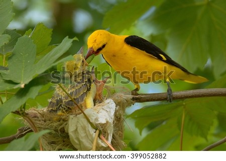 Eurasian Golden Oriole (Oriolus oriolus - male) sitting near the nest with the young bird. #399052882