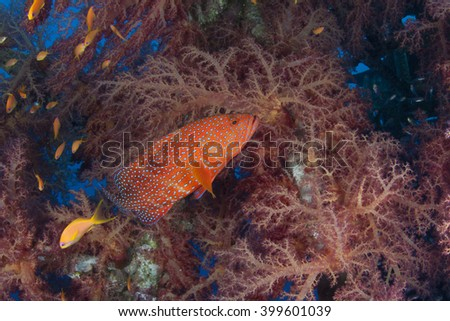 Coral Grouper Cephalopholis Miniata with a backdrop of red Dendronepthya #399601039
