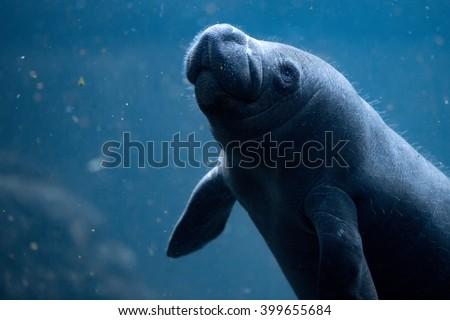 manatee close up portrait underwater