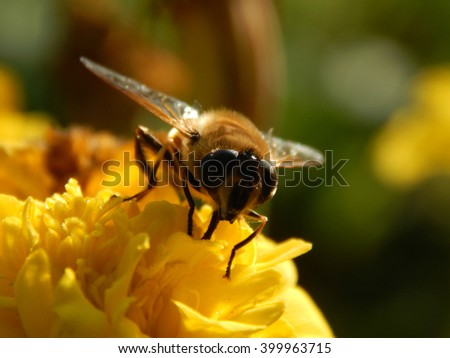 bee on a flower asters on a sunny day #399963715