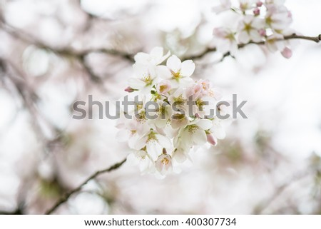 Blooming Tree Branches with White Flowers, Cherry Blooming, Springtime, Park in England, UK #400307734