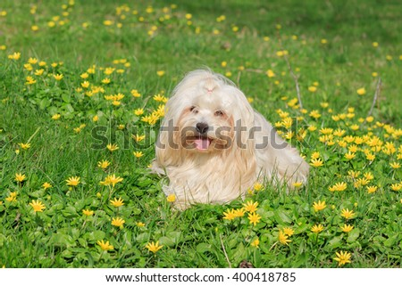Havanese dog on flower meadow #400418785