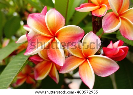 Pink plumeria on the plumeria tree, frangipani tropical flowers with blurry background:select focus with shallow depth of field:ideal use for background. #400572955