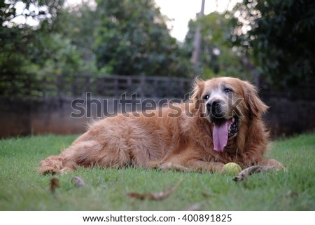 Golden Retriever play ball #400891825
