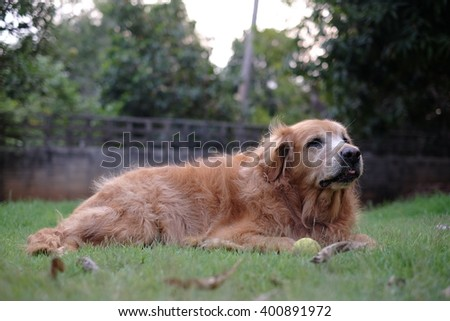 Golden Retriever play ball #400891972