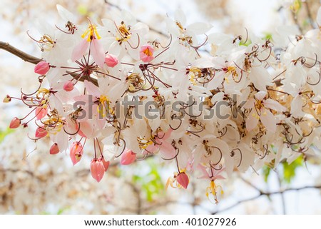 Cassia bakeriana flowers in natural background #401027926