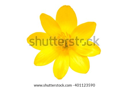 yellow spring flower isolated on a white background #401123590