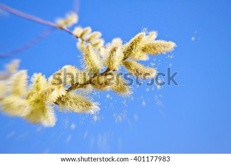 Pollen of a catkin in spring Royalty-Free Stock Photo #401177983