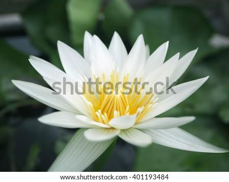 beautiful lotus flower #401193484