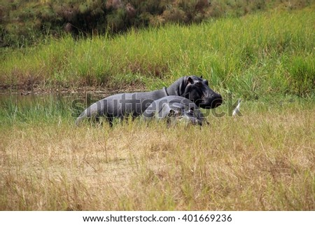 Hippos at the Akagera National Park in Rwanda #401669236