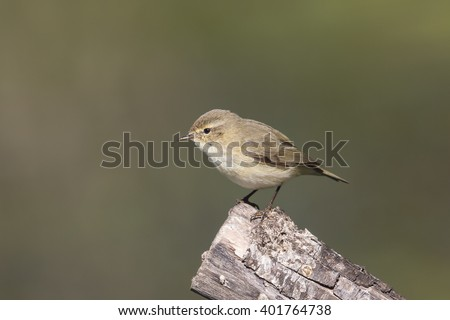 A Chiffchaff (Phylloscopus collybita) perched on a wooden post, against a blurred natural background, in winter in Andalusia, Spain #401764738